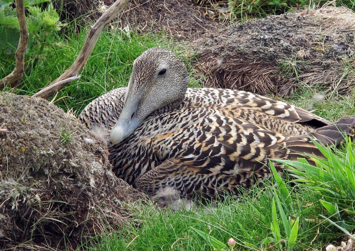 Eider Duck on her nest