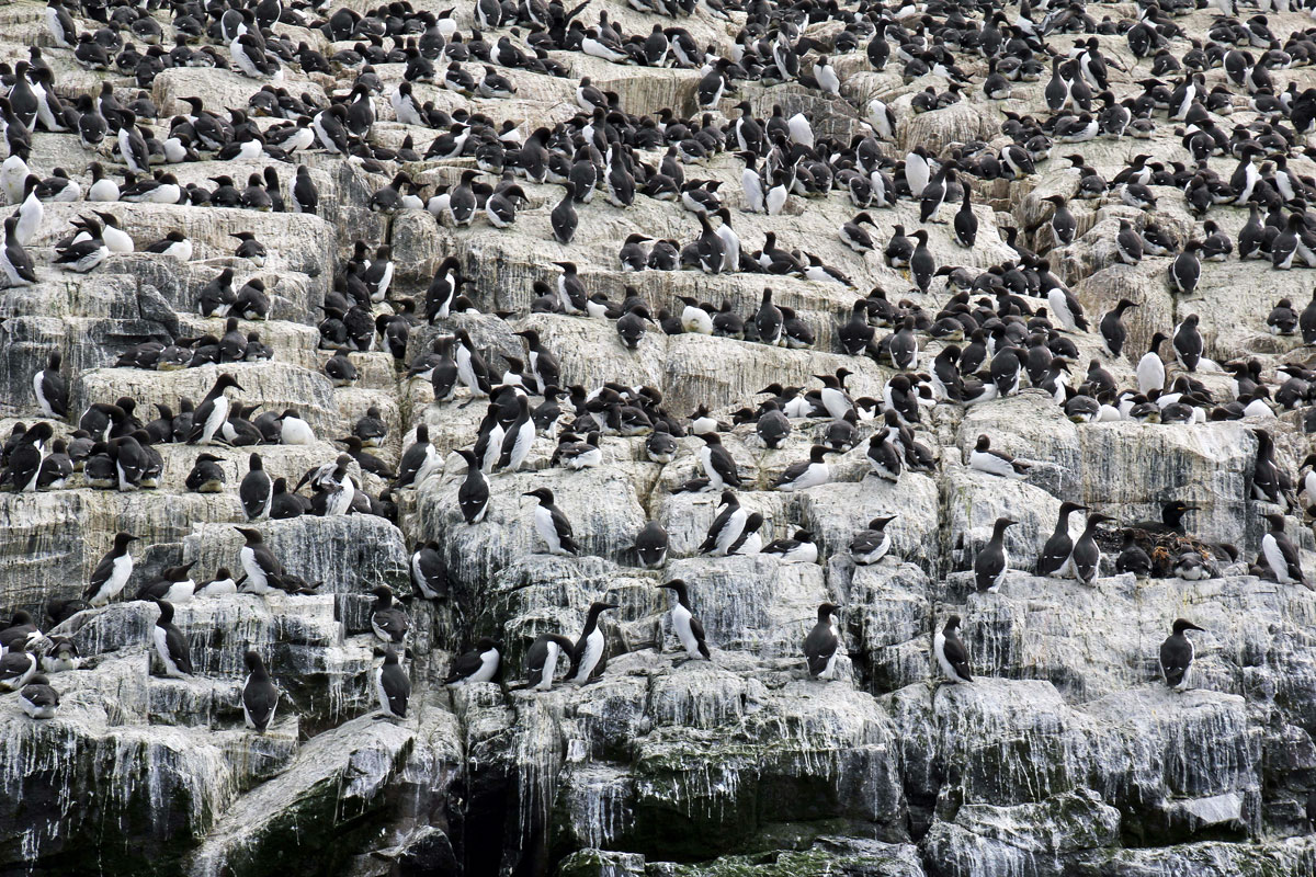 Guillemots on the cliffs at Staple Island