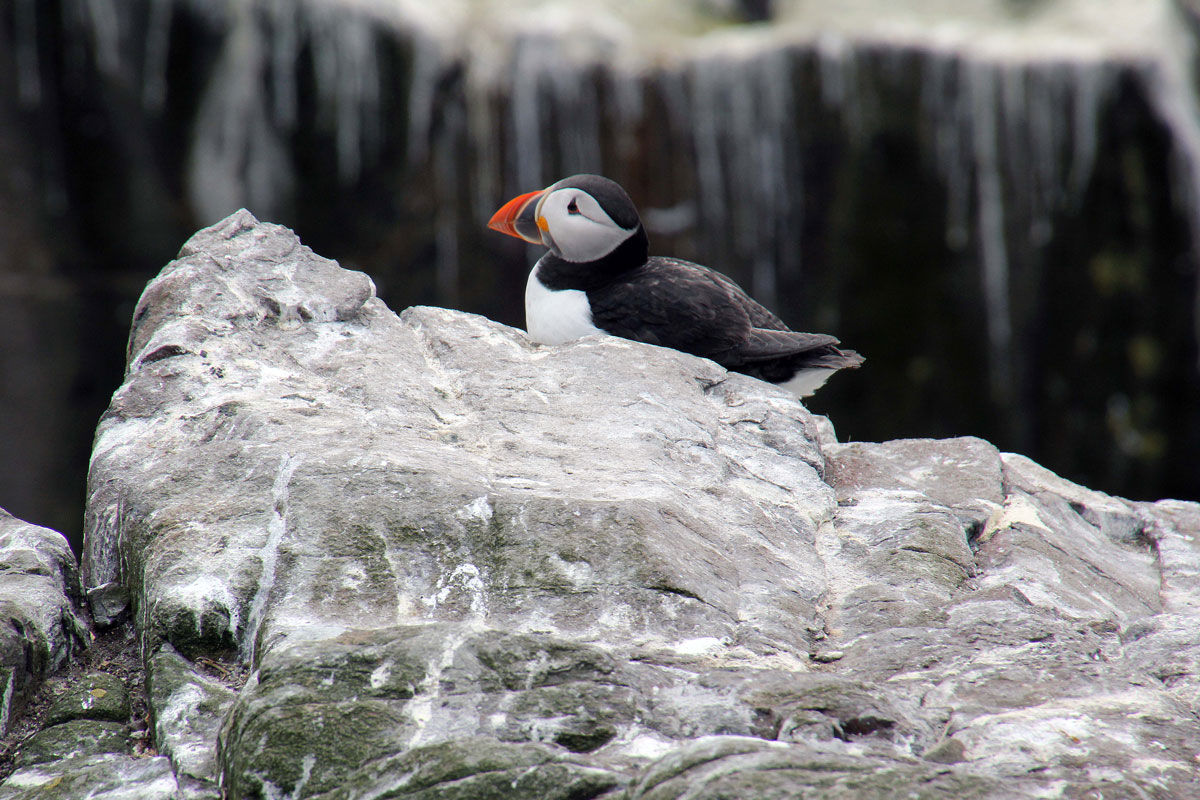 014-Puffin-near-the-Quarry-Viewpoint