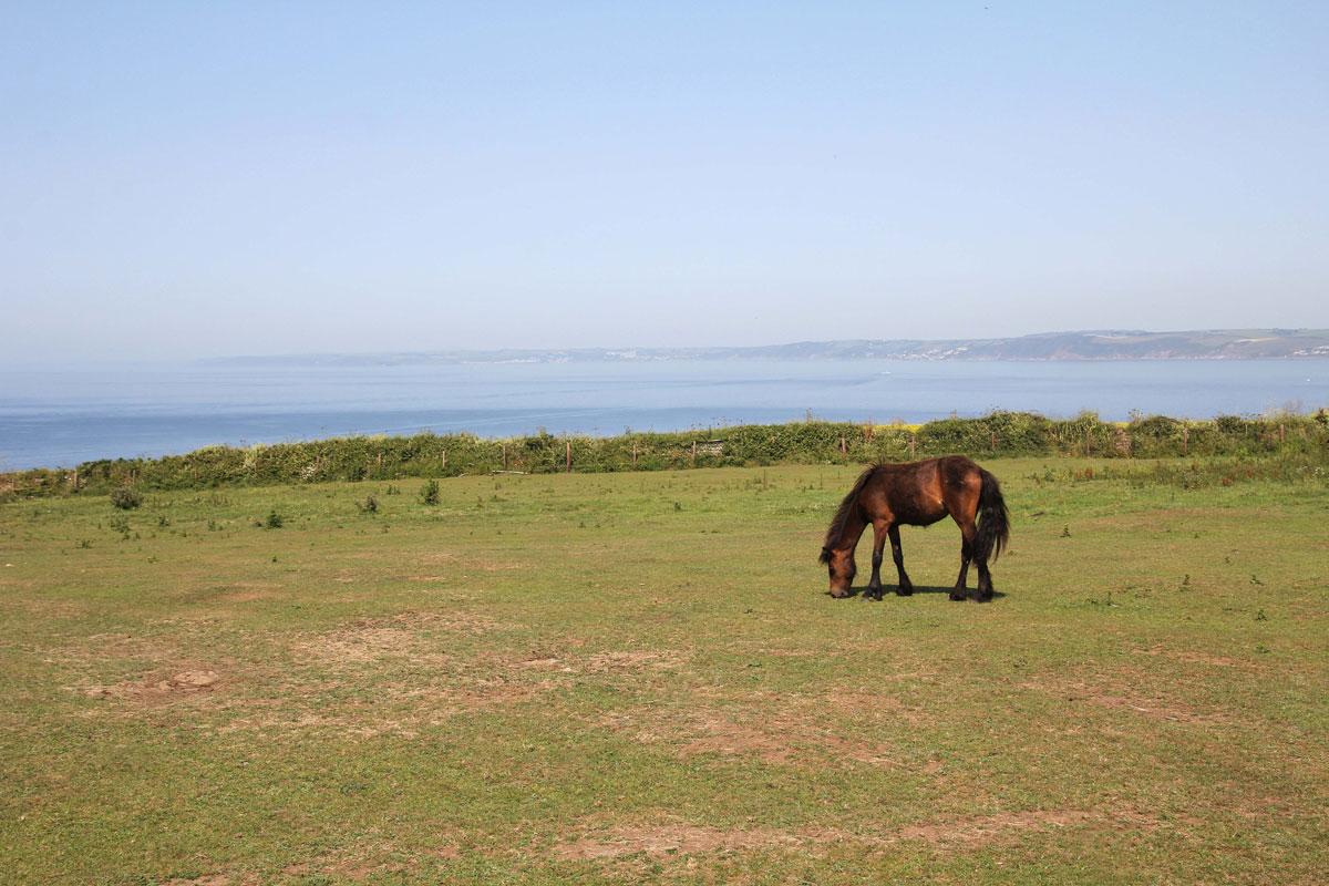 Dartmoor Pony at Rame Head
