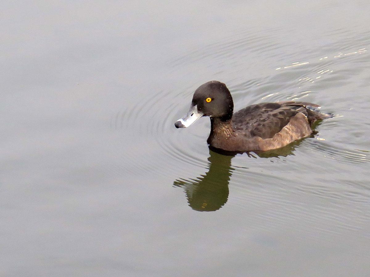 Goldeneye Duck on the Lake